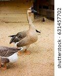 Farm Goose  Erect Posture And...