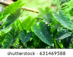 Taro Leaves With Beautiful...