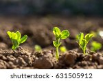 Young Pea Plants In Early...