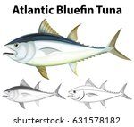 Atlantic Bluefin Tuna In Three...