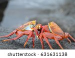 Sally Lightfoot Crab Fight