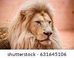 Single Lion Looking Regal...