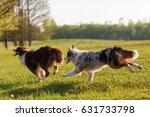 Stock photo picture of two australian shepherd running on the meadow 631733798