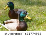 wild duck  | Shutterstock . vector #631774988