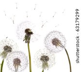 White Dandelions Isolated On...