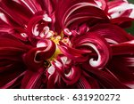red dahlia flower macro shot.... | Shutterstock . vector #631920272