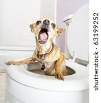 a tiny chihuahua in a toilet (THE WATER WAS DRAINED OUT) - stock photo