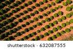 orange trees plantation at may... | Shutterstock . vector #632087555