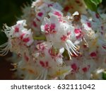 Small photo of Japanese Horse Chestnut in Bloom Aesculus turbinata
