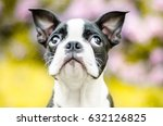 Stock photo sweet look of boston terrier puppy 632126825