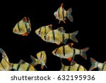Aquarium Fish  The Tiger Barb...