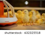 Little Chickens In A Farm