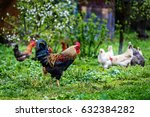 Rooster And Hens Walking On Th...