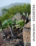 Small photo of Beautiful plant Aeonium urbicum . It is endemic to Tenerife, one of the Canary Islands, where it frows on the north of the island from Teno point to the Anaga peninsula.