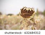sunflower harvest. dry flower...   Shutterstock . vector #632684312