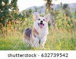 corgi    golden grass   | Shutterstock . vector #632739542