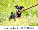 Small photo of Dog dwarf pinscher in the grass
