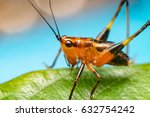 Small photo of Orange, black bush-crickets or katydids (Arthropoda: Insecta: Coleoptera: Dryophthoridae: Conocephalus melanus) crawling on a green leaf isolated with blue, soft background with bokeh