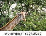 close up of giraffe on nature... | Shutterstock . vector #632915282