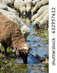 Sheeps Drinking From A River