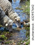 Two Sheeps Drinking From A River