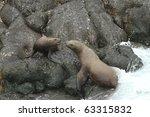 Steller Sea Lions   Alaska ...