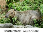 Small photo of large rodent coypus nutria swamp rat in confined captivity pool with young-ling, one of the main attractions at zoo negara malaysia