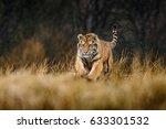 siberian tiger panthera tigris... | Shutterstock . vector #633301532