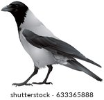 Hooded Crow Bird  Also Known...