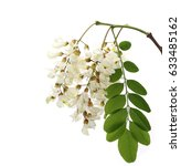 Small photo of Blossoming acacia with leafs isolated on white background, black locust, Acacia flowers, Robinia pseudoacacia (White acacia)