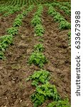 lines planted with potato crops ... | Shutterstock . vector #633673988