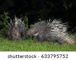 malayan porcupine  himalayan... | Shutterstock . vector #633795752
