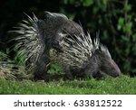 malayan porcupine  himalayan... | Shutterstock . vector #633812522