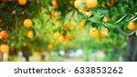 Bunch Of Ripe Oranges Hanging...