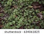 creeping charlie plants   Shutterstock . vector #634061825