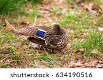 Preening Duck With Wing Raised...