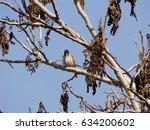 house sparrow  passer... | Shutterstock . vector #634200602