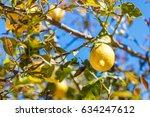 lemon tree in spain | Shutterstock . vector #634247612