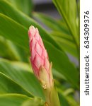 Small photo of red ginger flower bud with green leaves background, pink corn ginger or ostrich plume.( alpinia purpurata )