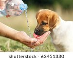 A Dog Puppy Jack Russel...