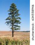 Pine Tree In A Wheat Field On...