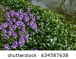 water hyacinth in the pond.   Shutterstock . vector #634587638