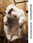 Albino Vervet Monkey In A Cage