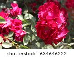 Small photo of The pink shrub rose