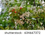 White Flowers And Red Fruits O...