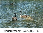 Geese Family Swimming In A Lake.