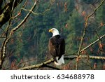 Bald eagle in canada.