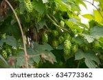 organic hops at farm   Shutterstock . vector #634773362