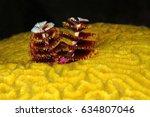 christmas tree worm underwater... | Shutterstock . vector #634807046