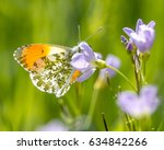 The Orange Tip Butterfly ...